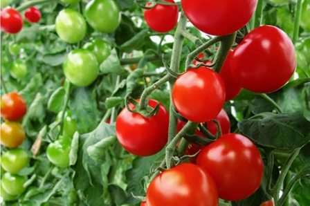 Он устойчив к болезням, высокоурожайный, плоды рано созревают, хорошо хранятся и подходят абсолютно под любое использование.