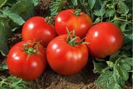 Особенного внимания достойно описание способа формирования куста томата. Оставляют на каждом растении один или два стебля.