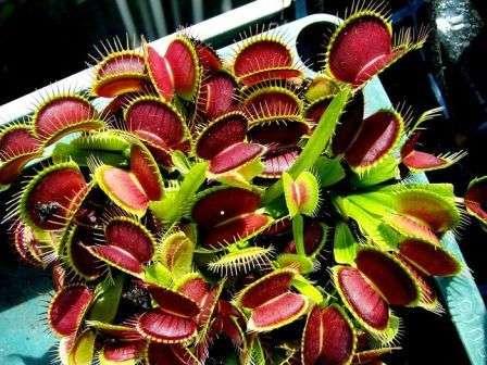 Сразу после пересадки ослабленное растение следует поместить в затененный уголок дома и обеспечить ему постоянную влажность грунта.
