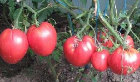 Для любителей крупных помидоров с высокой урожайностью прекрасным вариантом станет сорт Кардинал.