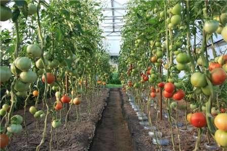 В открытом грунте удачным считается сбор 10-15 кг помидоров с одного индетерминантного куста.
