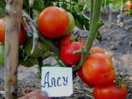 Высокой урожайностью может смело похвастаться и другой популярный сорт томатов — Алсу.