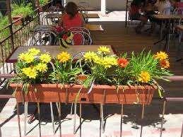 Весной растения снова аккуратно переносят в открытый грунт.