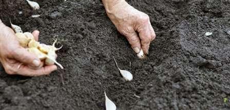 Чеснок хорошо растет в суглинистом грунте. Однако он не должен быть уплотненным, поэтому участок следует заранее перекопать.