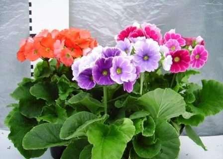 С момента окончания цветения осенью до начала цветения примулу лучше держать в прохладном помещении с температурой около 5 °С.