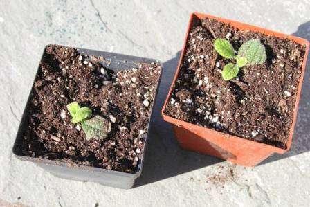 Когда корни хорошо разрастутся, можно приступать к пересадке растения в постоянный горшок.