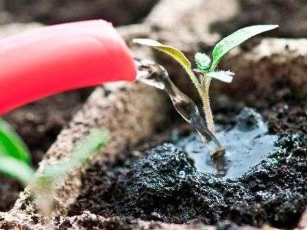 При выращивании томатов без пикировки дождитесь появления первых 2-х или 4-х листочков.