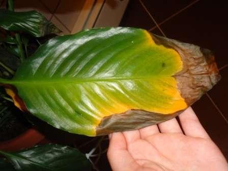 Если у растения желтеют и присыхают листья, значит, следует увеличить полив.