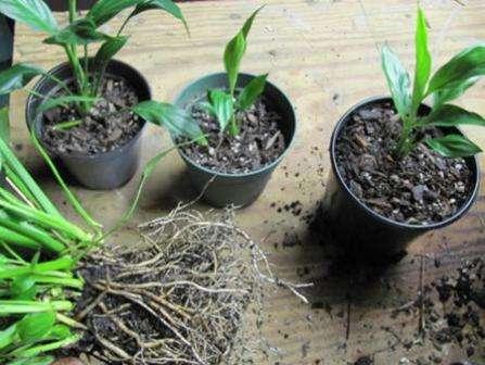 При пересадке не расправляйте корни растения, а лучше пересаживайте в новый вазон вместе со сформировавшимся земляным комом.