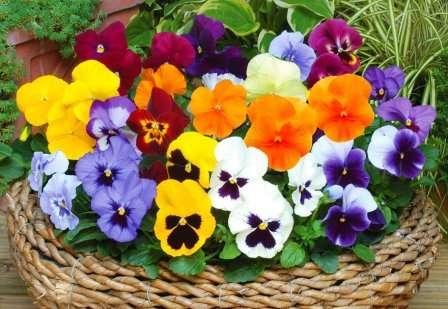 Растение перекрестноопыляемое, поэтому разные сорта сажайте отдельно.