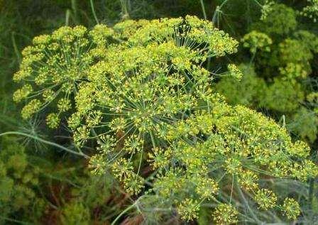 Посадите по краям теплицы укроп. Его цветение как магнитом привлекает божьих коровок. Слетаясь в теплицу, насекомые с удовольствием лакомятся и клещами, и тлей.