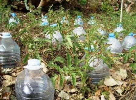 Систему из бутылок на даче применяют так: в жаркий период заливают грядки и перед отъездом устанавливают бутылки с водой.