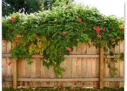 Прекрасно выглядит забор, оплетенный ярко цветущими растениями.