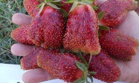 Купчиха Как видно на фото, ягоды этого сорта садовой земляники имеют интересную форму.