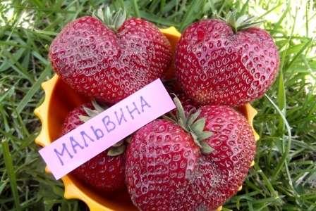 Сорт Мальвина дает сладкие ягоды средних размеров в большом количестве.