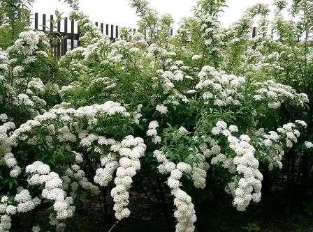 Посадите кустарники с разным периодом цветения, чтобы любоваться красотой весь сезон.