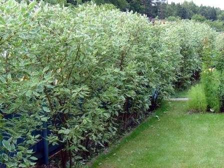 Подойдут как густо растущие кустарники, так и высокие растения. В озеленении дворика нередко используют дерен.