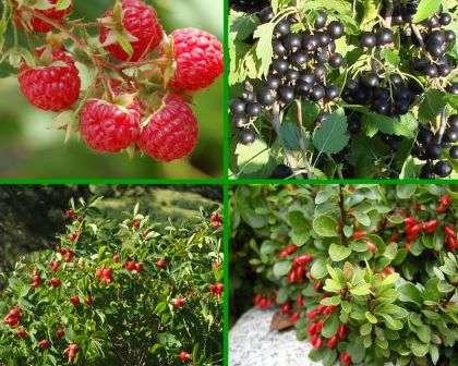 Чтобы добиться особой декоративности в период созревания ягод, стоит посадить рядом кусты с плодами разного цвета.