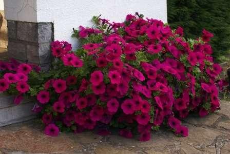 Цветущие практически на протяжении всего лета — циния, креопсис, календула, петуния, настурция.
