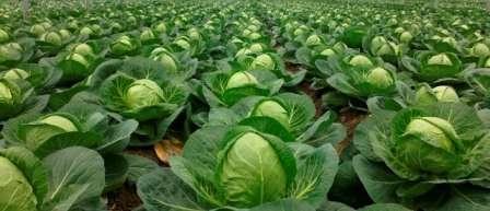 Белокочанная капуста отличается холодостойкостью, поэтому ее можно сажать уже в апреле.