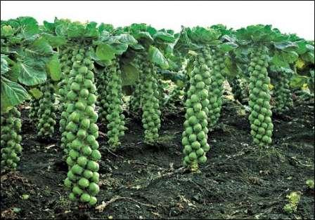 Культура не терпит густой посадки — расстояние между соседними растениями не должно быть менее 60 см.