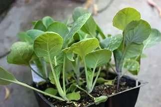 В открытый грунт сеянцы брюссельской капусты перемещаются в возрасте 45-60 дней. Семена всходят быстро — за 4-5 дней.