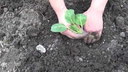 Чтобы впоследствии иметь бесперебойную поставку цветной капусты с собственного участка, следует посадить сорта всех трех сроков созревания.