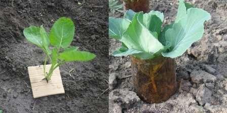 Практика показала, что капусту кольраби практично выращивать на узкой грядке.