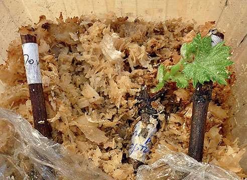 Нижние части черенков винограда вставляют в опилки, сверху накрывают пленкой.