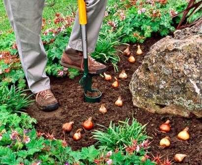 Луковичные, посаженные осенью, начинают цвести ранней весной и к началу лета оставляют после себя голый участок земли.