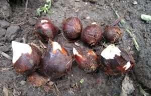 Крупными считаются луковицы тюльпанов размером 3-4 см.