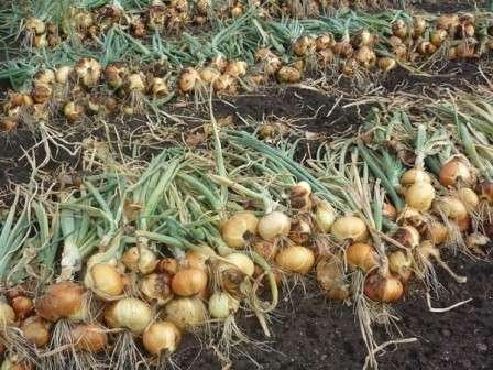 Не раскладывайте урожай непосредственно на землю, чтобы его не мочила роса.