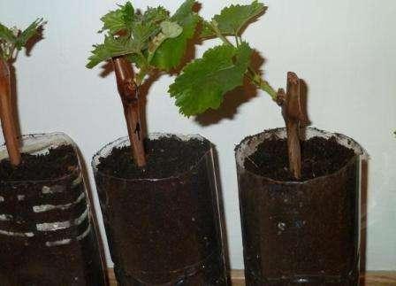 Не дожидаясь появления корней чубуки втыкают в рыхлый грунт, помещенный в отдельные емкости.