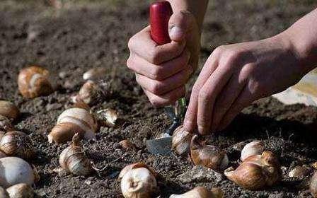 К посадке луковиц весной следует приступать только в случае, если этого не удалось сделать осенью и в начале зимы.
