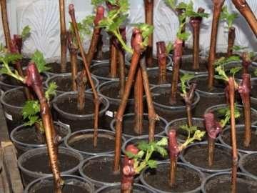 Емкости для доращивания наполняют рыхлым грунтом, состоящим из садовой земли, песка и зрелого перегноя.