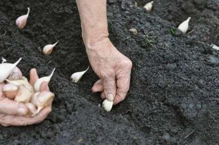 Когда правильно совершать посадку озимого чеснока?
