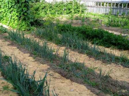Разработанный Митлайдером подход к питанию растений в течение всего срока применения его на практике показал высокую результативность.