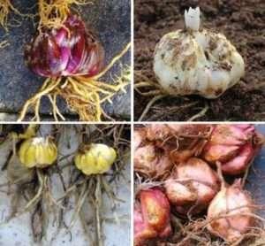 Для домашней выгонки обычно используют низкорослые и раннецветущие растения. Для каждого из них создается индивидуальная схема, но все их объединяют определенные особенности.