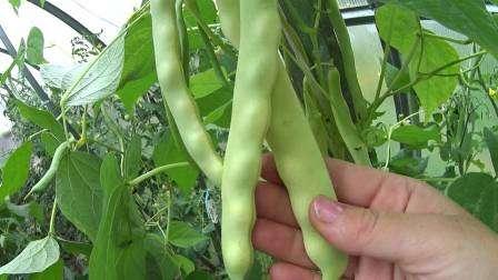 Не уделив должного внимания заключительному этапу выращивания фасоли, можно испортить достигнутые результаты.