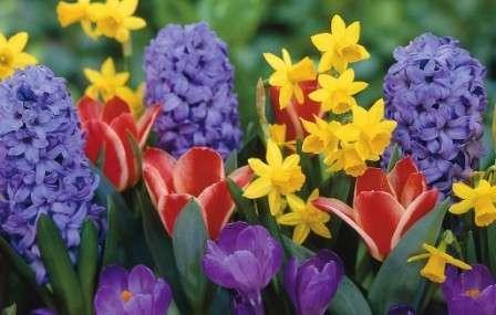 Посадку луковичных цветов осенью совершайте не в один прием, а в несколько, с промежутками в неделю.