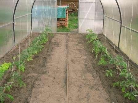 В случае расположения теплицы в холодном регионе выбирайте семена сибирской селекции.