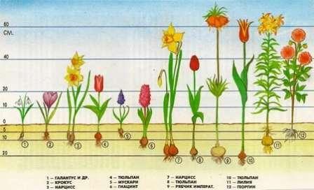 Если вы посадили луковичные цветы, а погода раньше ожидаемого срока испортилась — накройте будущий цветник агропленкой, лапником, сеном, соломой или сухими остатками растений.