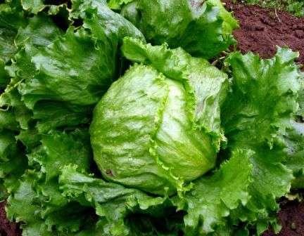 Кочанный салат. Листья сортов этой группы жесткие, но сочные и маслянистые.