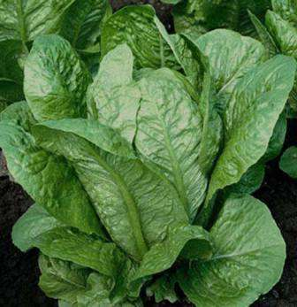 Римский салат. Это группа кочанных и полукочанных салатов с превосходными вкусовыми качествами.