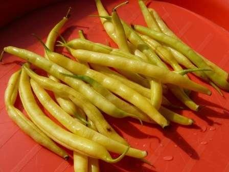 Сорт фасоли, который отличается ранним созреванием и компактностью куста. Стручки желтые и длинные — 25 см.
