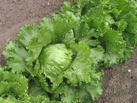 Срывной салат. Имеет стебель, покрытый нежными листьями с волнистой окантовкой.