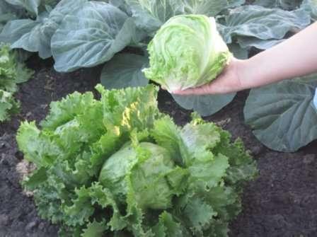Сенатор. Сорт высокоурожайный, неприхотливый, устойчивый к жаре, с отличными вкусовыми характеристиками.