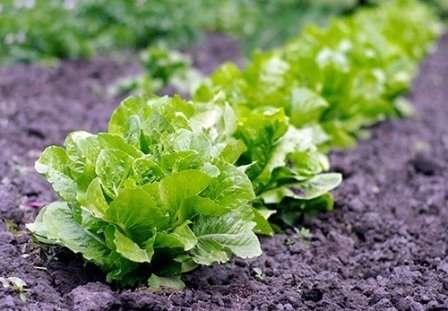 Листовой салат. Образует только листья, которые могут иметь ровные и надрезанные края.