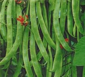 Победитель — очень декоративная фасоль с красными цветками и длинными стручками, созревающими за 3 месяца.