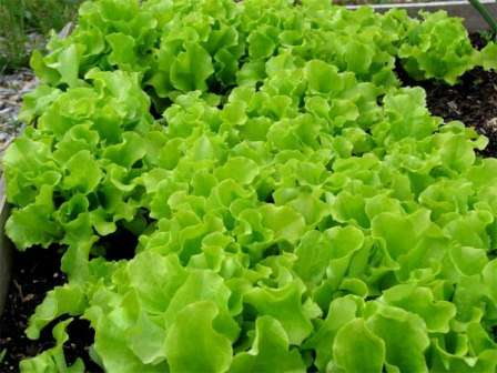 Гасконь. Среднеранний сорт салата для открытого грунта с волнистыми и сильно изрезанными листьями. Защищен от болезней.